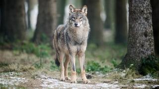 Urner Bauern erhalten nach Wolfattacken mehr Entschädigungen
