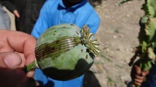 Der Opium-Anbau in Afghanistan boomt – trotz Gegensteuer