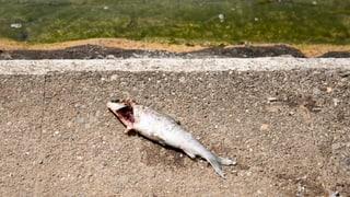 Im Rhein hat das grosse Fischsterben eingesetzt