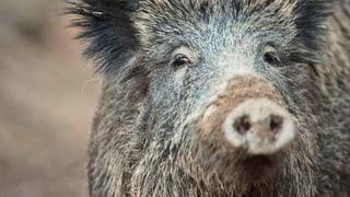 Afrikanische Schweinepest nähert sich der Schweiz
