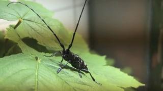 Video «Der Kampf gegen invasive Tier- und Pflanzenarten» abspielen