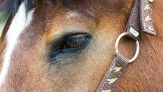 Birrfeld: Sperrzone nach Infektiöser Anämie