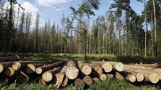 Abholzaktion im polnischen Urwald war illegal