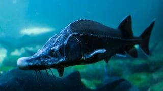 Mehrere Tonnen Fische im Tropenhaus Frutigen verendet