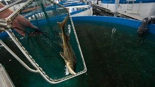 Frischer Fisch direkt vom Hof: Bauern gegen Behörden