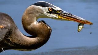 Fischfressende Vögel auf der Abschussliste