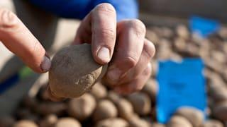 Gentech-Kartoffeln: Forschung für die kommende Generation