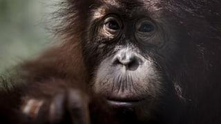 Wird der Orang-Utan unser nächstes Opfer?