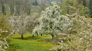 Hochstammbäume: Thurgau bremst den Niedergang