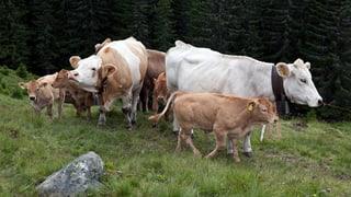 Kühe trampeln Wanderin oberhalb von Laax zu Tode