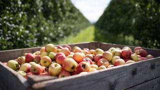 Apfel-Allergie: Neue Sorten sollen Linderung bringen
