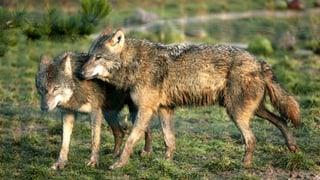 Die Zeit läuft für die Wölfe