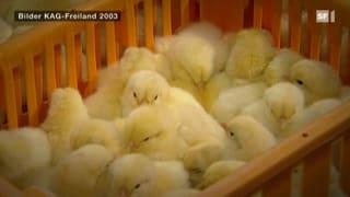 Eier-Produktion: Millionen Küken werden sinnlos getötet