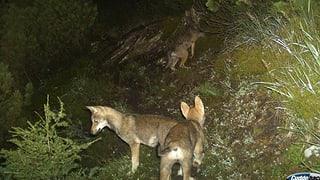 Zwei Wölfe am Calanda auf der Abschussliste