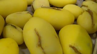 Schon wieder eine schlechte Kartoffelernte