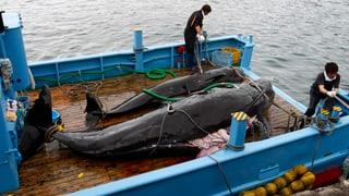 Japans «Walforschung» geht weiter