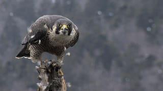 Video «NETZ NATUR «Der Ruf des Falken» (Schweizerdeutsch)» abspielen