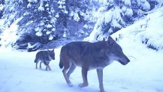 Wolf tötet Wild im Unterengadin