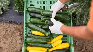 Gemüseproduzenten bleiben auf ihrer Ernte sitzen