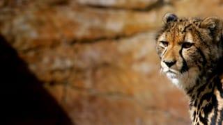 Gepard verletzt Botswanas Präsidenten