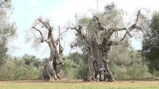 Das Sterben der Oliven Italiens  (Artikel enthält Video)
