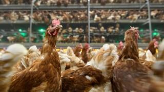 Behörden töten Hundertausende Tiere