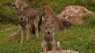 Bund plant neues Wolfskonzept