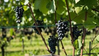 Viticulturs survegnan daners da Bayer