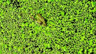 Kleine Wasserlinsen gegen ein grosses Umweltproblem