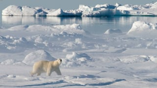 Schwere Zeiten für Eisbären