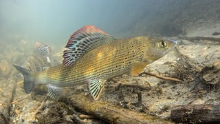 Zu heiss für Fische – Massnahmen gegen die Katastrophe