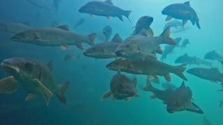 Zusatzvideos «Stimme für die Fische»
