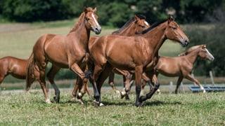 Freiberger, das Schweizer Pferd – wirklich?