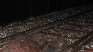 Urs collidà cun tren en Engiadina Bassa