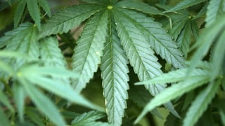 Consumar cannabis per la scienza