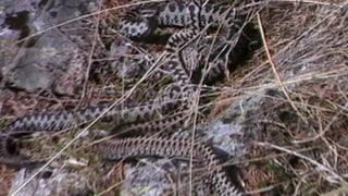 Bereits erste Schlangenbisse
