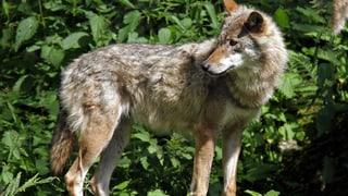 Wolf schlägt im Wallis wieder zu