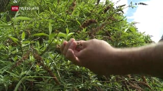 La bova da Bondo – terren ideal per neofitas (Artitgel cuntegn video)