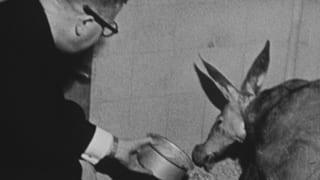 70 Jahre Tropeninstitut: Von Warzenschweinen und Erdferkeln