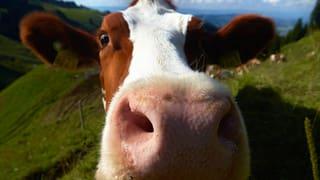 Helvetismen stinken nach Stall – oder riechen nach Heimat?