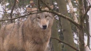 Sind Wölfe wirklich böse?