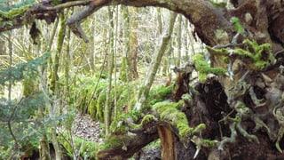 Video «Das Geheimnis der wilden Wälder» abspielen