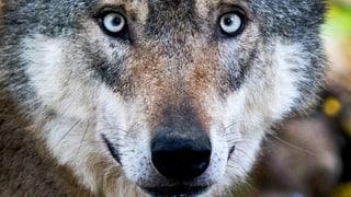 Landrat will schärfere Massnahmen gegen den Wolf