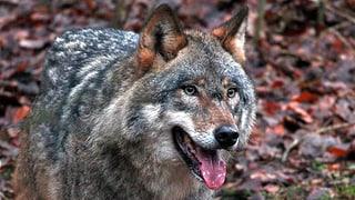 Walliser Wolf wird abgeschossen