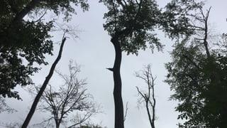 Förster müssen Bäume fällen, die im Frühling kerngesund waren