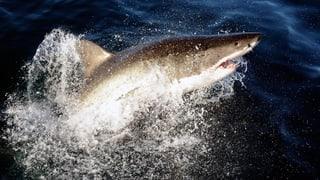 Wie der Weisse Hai tausende Kilometer schafft