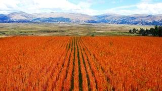 Quinoa, ein Rezept gegen den Welthunger?