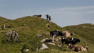 Rinder gesucht für Vorarlberger Alp