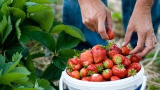 Pestizide in Schweizer Erdbeeren: Gespritzt wird fast überall