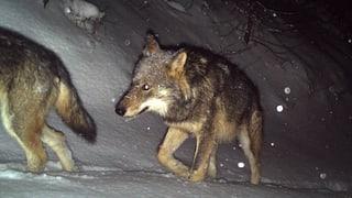 Weiterer Wolf abgeschossen